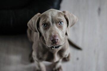 weimaraner, puppy, dog