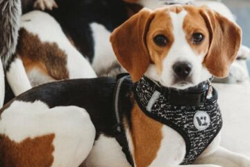 Beagles are not ideal dogs for first time owners